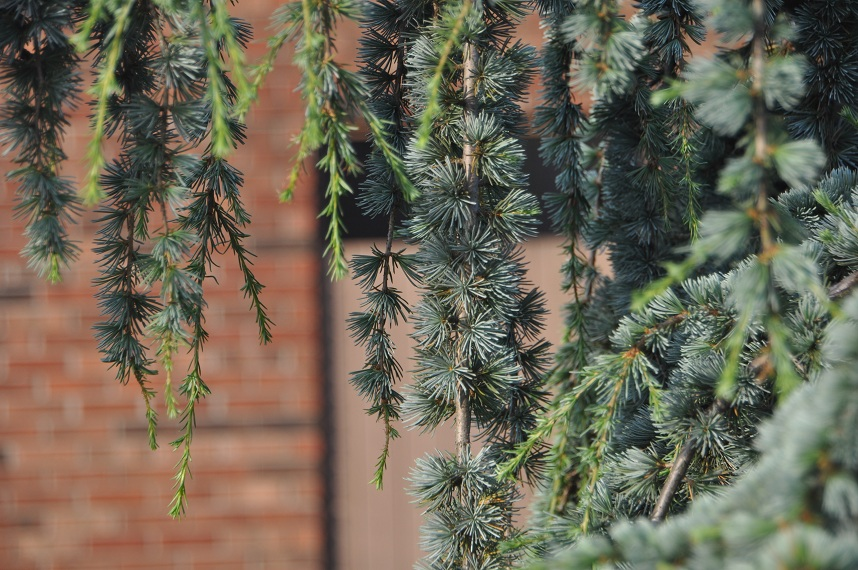 Weeping Atlas Blue Cedar